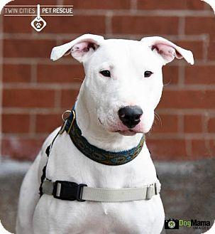 Bull Terrier Mix Dog for adoption in St Paul, Minnesota - Jackson (Jax)