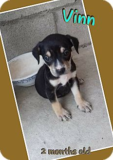 Terrier (Unknown Type, Small)/Spaniel (Unknown Type) Mix Puppy for adoption in LAKEWOOD, California - Rully