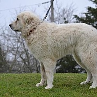 Adopt A Pet :: Tyler - Whitewright, TX