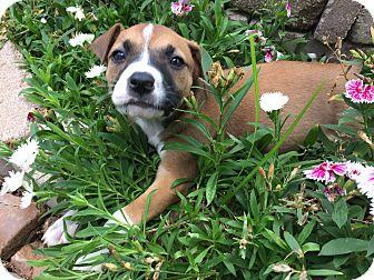 Boxer/Australian Shepherd Mix Puppy for adoption in Boerne, Texas - Cora