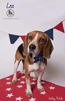Beagle Dog for adoption in Kenner, Louisiana - Lea