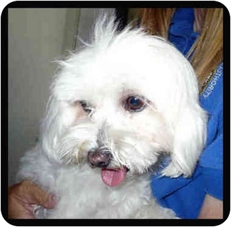 Maltese Dog for adoption in San Clemente, California - CLARA