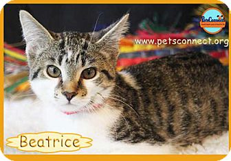 Domestic Shorthair Kitten for adoption in South Bend, Indiana - Beatrice