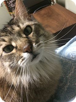 Maine Coon Cat for adoption in Saint Louis, Missouri - Riley