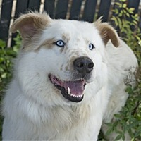 Australian Shepherd/Spitz (Unknown Type, Medium) Mix Dog for adoption in Pt. Richmond, California - SHIRO