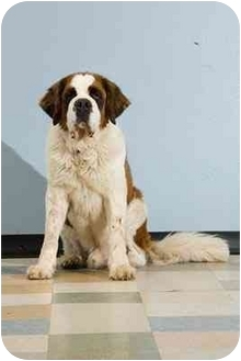 St. Bernard Dog for adoption in Portland, Oregon - Gentle Ben