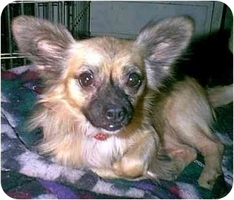 Chihuahua/Papillon Mix Dog for adoption in dewey, Arizona - TEDDY