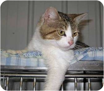 Domestic Shorthair Cat for adoption in Marseilles, Illinois - Foxy