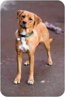 Labrador Retriever Mix Dog for adoption in Portland, Oregon - Alissa