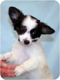 Papillon/Chihuahua Mix Dog for adoption in Westminster, Colorado - Dolphin