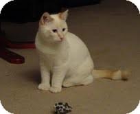 Siamese Cat for adoption in Okotoks, Alberta - Swiss