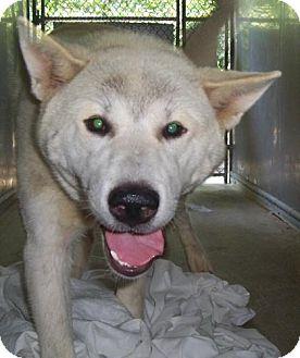 Husky/Shepherd (Unknown Type) Mix Dog for adoption in Mt. Vernon, Illinois - Koa