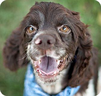 Cocker Spaniel Mix Dog for adoption in Portsmouth, Rhode Island - Frankie- w/video!