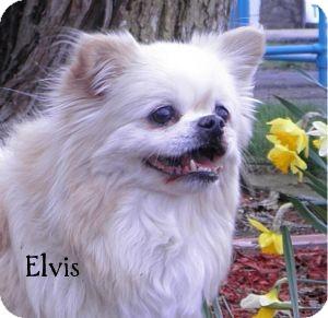 Pekingese Dog for adoption in Warren, Pennsylvania - Elvis