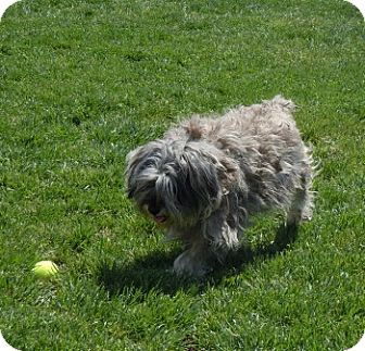 Schnauzer (Miniature) Mix Dog for adoption in Meridian, Idaho - Megan