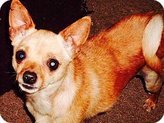Chihuahua Mix Dog for adoption in Greeneville, Tennessee - Chee Chee