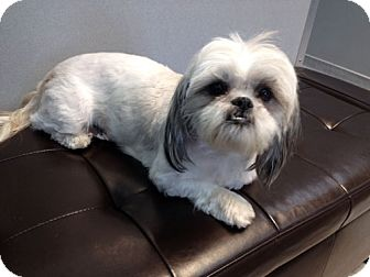 Lhasa Apso Dog for adoption in Los Angeles, California - UTA