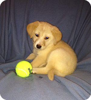 Labrador Retriever Mix Puppy for adoption in Kimberton, Pennsylvania - Tamber