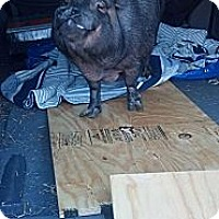 Pig (Potbellied) for adoption in Georgetown, Kentucky - Charlotte