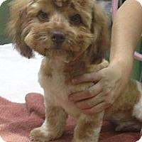 Adopt A Pet :: BEAR - Pembroke pInes, FL