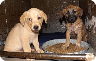 Labrador Retriever/Shepherd (Unknown Type) Mix Puppy for adoption in Henderson, North Carolina - Southern Pups  5