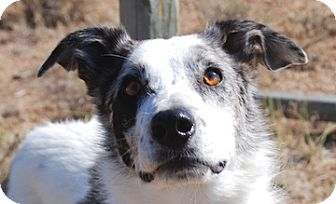 Australian Shepherd Mix Dog for adoption in Portola, California - Bella