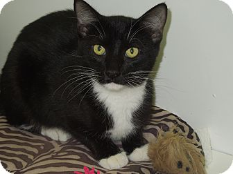 Domestic Shorthair Cat for adoption in Medina, Ohio - Gale