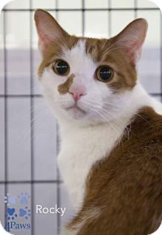 Domestic Shorthair Cat for adoption in Merrifield, Virginia - Rocky