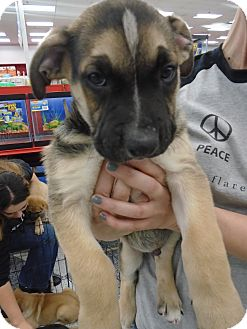 German Shepherd Dog/Bullmastiff Mix Puppy for adoption in San Dimas, California - Obie