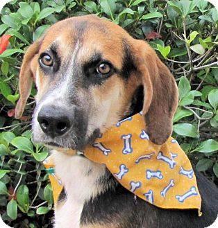 Hound (Unknown Type)/Shepherd (Unknown Type) Mix Dog for adoption in Port St. Joe, Florida - Ford