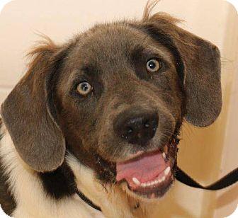 Pointer Mix Dog for adoption in McDonough, Georgia - SEYMOUR