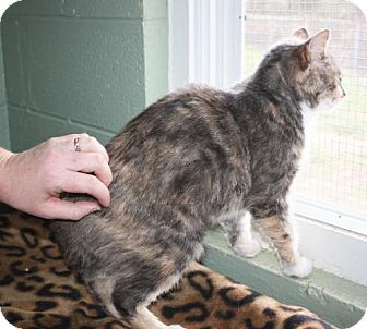 Domestic Shorthair Cat for adoption in Cottageville, West Virginia - Laurie