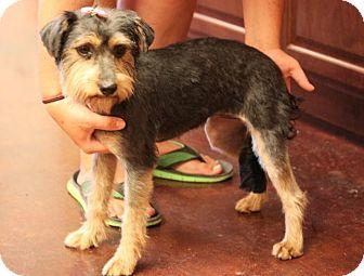 Schnauzer (Miniature)/Yorkie, Yorkshire Terrier Mix Dog for adoption in Westport, Connecticut - *Effie - PENDING