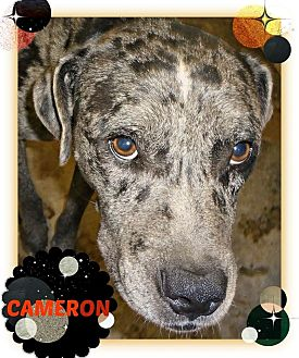 Catahoula Leopard Dog Mix Dog for adoption in Benton, Arkansas - Cameron