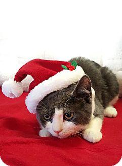 Domestic Shorthair Kitten for adoption in Wayne, New Jersey - Blinkin