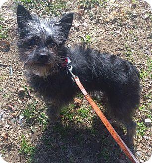Yorkie, Yorkshire Terrier/Cairn Terrier Mix Dog for adoption in Oak Ridge, New Jersey - Vivian & Vane