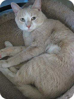 Domestic Shorthair Cat for adoption in Bloomsburg, Pennsylvania - Bogie