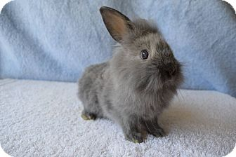 Lionhead Mix for adoption in Fountain Valley, California - Paisley