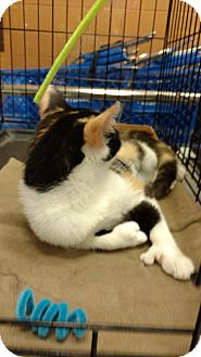 Domestic Shorthair Cat for adoption in Jeffersonville, Indiana - Lily