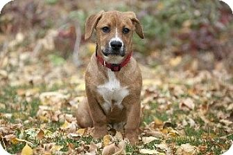 Basset Hound/Boxer Mix Puppy for adoption in Jackson, Idaho - Daisy