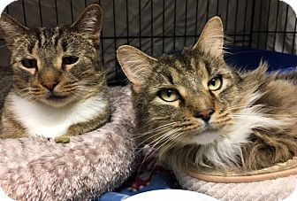 Maine Coon Cat for adoption in Warwick, Rhode Island - Loki and Tanks