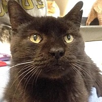 Domestic Shorthair/Domestic Shorthair Mix Cat for adoption in Anderson, Indiana - Biggen