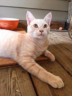 Domestic Shorthair Cat for adoption in Burlington, North Carolina - ATLAS