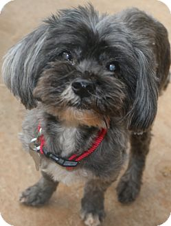 Havanese Mix Dog for adoption in Woonsocket, Rhode Island - Timber