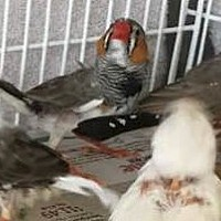 Adopt A Pet :: Finches - Frederick, MD