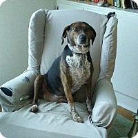 Mountain Cur Mix Dog for adoption in Strongsville, Ohio - Diana
