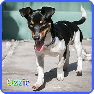 Dachshund/Jack Russell Terrier Mix Dog for adoption in Hollywood, Florida - Ozzie