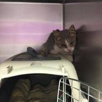 Domestic Shorthair/Domestic Shorthair Mix Cat for adoption in Myrtle Beach, South Carolina - Nectar