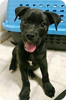 Labrador Retriever Mix Puppy for adoption in Knoxville, Tennessee - Duncan