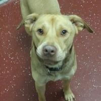 Adopt A Pet :: Bowser - West Columbia, SC